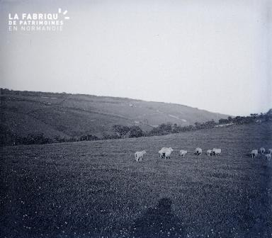 B022 La Hague champs avec des moutons