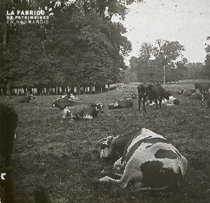 B025 Vaches dans un champ