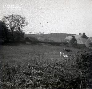 B028 Vache et veaux dans un champs derrière une maison