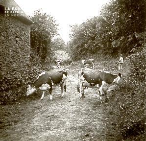 B031 Vaches dans un chemin derrière une maison