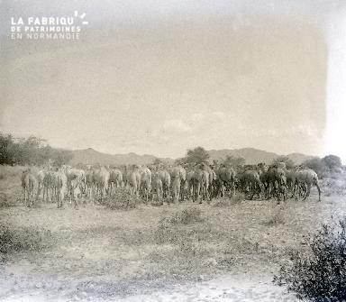 B062 Mauritanie Le troupeau de chameaux