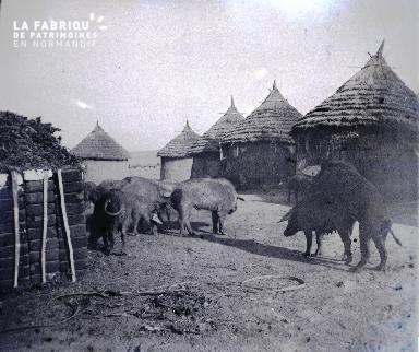 Porcs en Afrique2