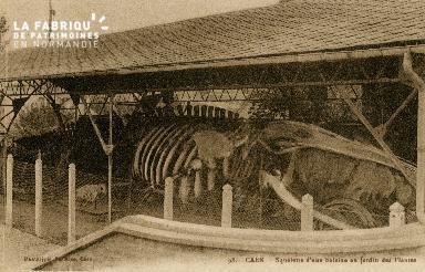 Cl 08 091 Caen le Jardin des Plantes Squelette d'une Baleine