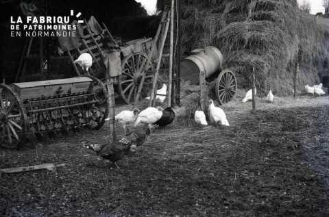 Poules et dindons chez Madame Couanon