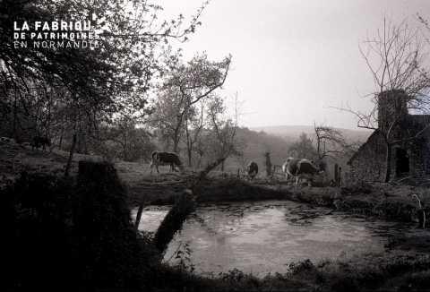 Marre avec vaches normandes