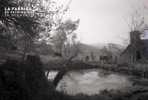 Mare avec vaches normandes