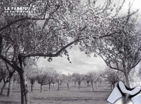 Champ de pommiers en fleur