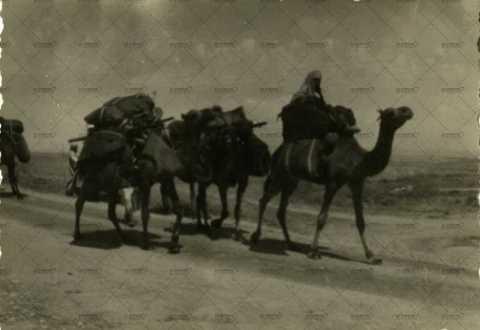 Troupeau de chameaux