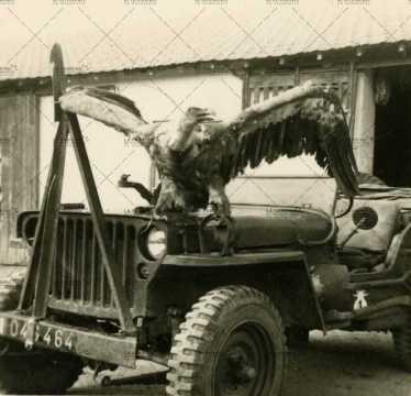 Aigle sur jeep