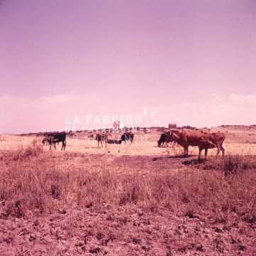 Vaches dans un champ durant la guerre d'Algérie