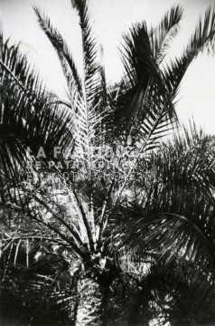 Palmier en Algérie