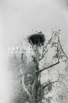 Nid de cigogne installé en haut d'un arbre.