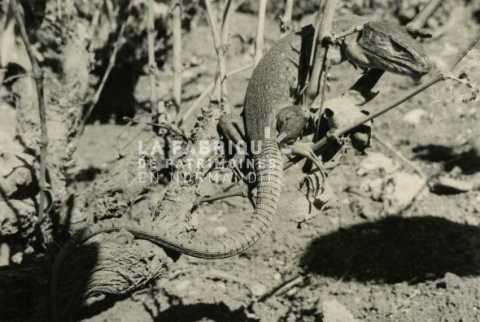 Reptile en Algérie