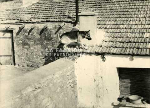 Berger allemand sur un toit en Algérie