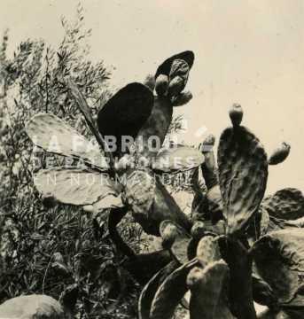 Cactus en Algérie