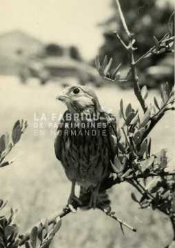 Jeune faucon pèlerin en Algérie