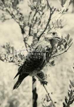 Jeune faucon pèlerin en Algérie.