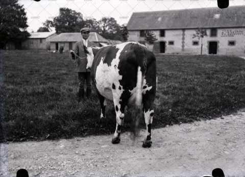 Agriculteur posant une vache normande