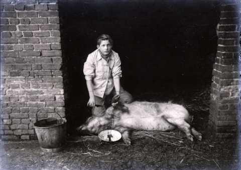 Abattage d'un porc